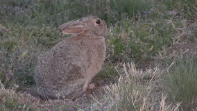 Cottontail κουνέλι απόθεμα βίντεο