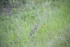Cottontail κουνέλι Στοκ Φωτογραφία