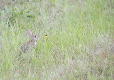 Cottontail κουνέλι Στοκ εικόνα με δικαίωμα ελεύθερης χρήσης