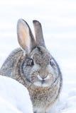 Cottontail κουνέλι Στοκ εικόνες με δικαίωμα ελεύθερης χρήσης