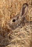 Cottontail κρύψιμο Στοκ φωτογραφίες με δικαίωμα ελεύθερης χρήσης