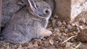 Cottontail μωρών κουνέλια απόθεμα βίντεο