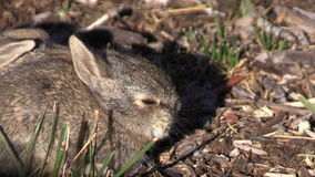 Cottontail μωρών κουνέλι απόθεμα βίντεο