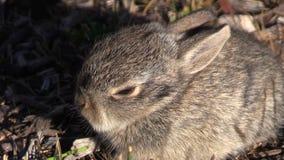 Cottontail μωρών στενός επάνω κουνελιών απόθεμα βίντεο