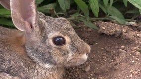 Cottontail πορτρέτο κουνελιών απόθεμα βίντεο