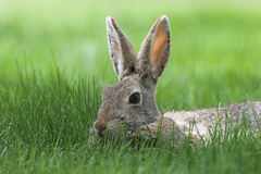 Cottontail. A cottontail bunny in tall green grass Royalty Free Stock Photography