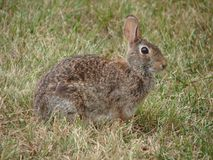 Cottontail. This is a picture of a cottontail rabbit that was just taking it easy in the grass Stock Image