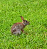 Cottontail bunny Royalty Free Stock Images