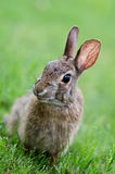 Cottontail bunny rabbit Stock Photos