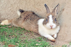 Cottontail bunny rabbit on animal farm Stock Photo