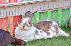 Cottontail bunny rabbit on animal farm Stock Image