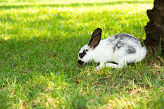 Cottontail bunny rabbit eating grass Stock Photos