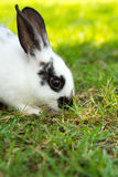 Cottontail bunny rabbit eating grass Stock Images