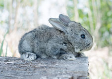 Cottontail bunny rabbit eating grass Stock Photo