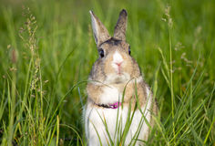 Cottontail bunny rabbit eating grass in the garden. Cottontail bunny rabbit eating grass Stock Photos