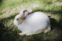 Cottontail bunny rabbit eating grass in the garden Stock Images