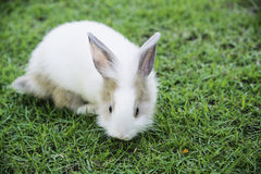 Cottontail bunny rabbit eating grass in the garden Royalty Free Stock Photo