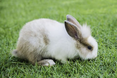 Cottontail bunny rabbit eating grass in the garden Stock Photos