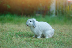 Cottontail bunny rabbit eating grass in the garden. Cottontail bunny rabbit eating grass in the garden with morning light, soft focus Royalty Free Stock Images