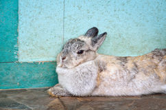 Cottontail bunny rabbit. Sitting against blue wooden door Royalty Free Stock Photography