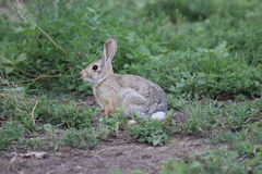 Cottontail bunny rabbit Stock Image
