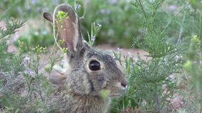 Cottontail Close Up stock video footage