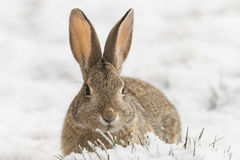 Cottontail Close Up in Snow. A cute cottontail rabbit in snow Royalty Free Stock Image