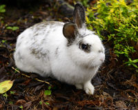 Cottontail Easter Bunny. White cottontail rabbit with black markings closeup in foliage Royalty Free Stock Photos