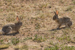 Cottontail Face Off. A pair of cottontail rabbits facing off royalty free stock images