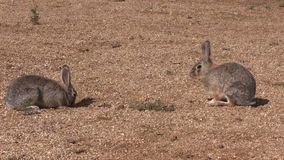 Cottontail Facing Off stock video
