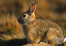 Cottontail in Great Light Stock Image