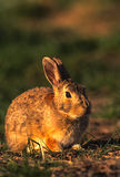 Cottontail in Great Light Royalty Free Stock Photo