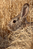 Cottontail Hiding. A portrait of an Eastern Cottontail hiding in some tall grass Royalty Free Stock Photos