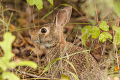Cottontail In Hiding Stock Photography