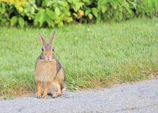 cottontail królik Zdjęcie Stock