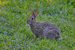 Cottontail królik Obraz Royalty Free