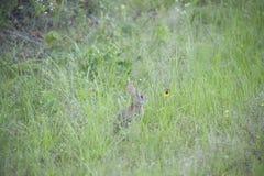Cottontail królik Fotografia Stock