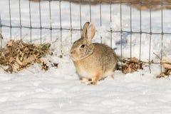 Cottontail królik ogrodzeniem w śniegu Fotografia Royalty Free