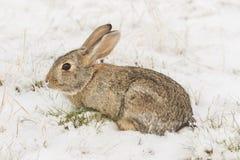 Cottontail królik Po śniegu Obraz Royalty Free