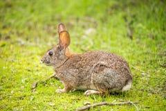 Cottontail królik - Sylvilagus Zdjęcia Stock