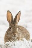 Cottontail królik w zimie Zdjęcie Royalty Free