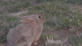 Cottontail królik Zbliża Wewnątrz zbiory wideo