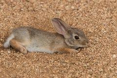 Cottontail królika Odpoczywać Obrazy Royalty Free