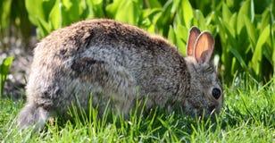 Cottontail królik Obraz Stock