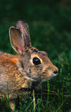 Cottontail Portrait Royalty Free Stock Image