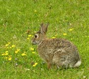 Cottontail Rabbit 1. Cottontail rabbit sitting in an open field Stock Images