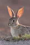 Cottontail Rabbit. An alert cottontail rabbit backlit by the sunset Royalty Free Stock Photography