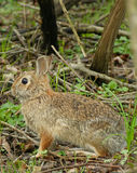 Cottontail Rabbit. In the woods stock photo