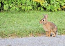 Cottontail Rabbit royalty free stock photo