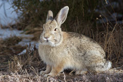 Cottontail Rabbit. A cottontail rabbit sitting under a cedar tree Royalty Free Stock Image